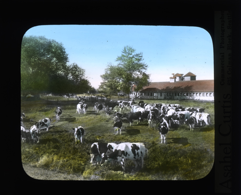 Dairy herd and dairy barn in the Yakima Valley by Asahel Curtis. Conservation Department, Planning and Development Division, Lantern Slide Shows, 1908-1939, Washington State Archives, Digital Archives.